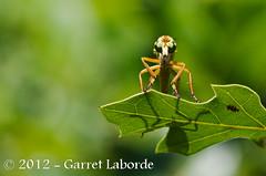 Robber Flies (Asilidae)  Dasypogoninae  Hanging-thieves (Diogmites) (The Fantastic G) Tags: texas july 2012 tomball insecta harriscounty sbr200 nikonr1system nikond7000 sigma150mm28exapodghsmmacro sigma14xtcapodgex nikon24120mmf4vriin