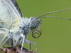 Spiral (aignes) Tags: macro butterfly insect makro schmetterling fz150 weissling