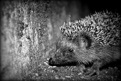 29/52 - Encounter - (marcoaj) Tags: bw white black cute eye nature monochrome face look animal night mono cub ngc ear trento hedgehog doormat ravina marcoajelli ajelli