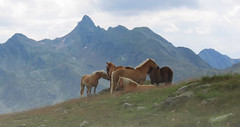 Haflinger im Wind (mikiitaly) Tags: italy sommer natur wolken berge pferde altoadige gebirge haflinger suedtirol mfcc penserjoch saariysqualitypictures bestcapturesaoi sailsevenseas elementsorganizer ruby10 bestofblinkwinners ruby15 flickrstruereflection1 sarnerweishorn