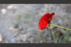 ~one~ (Mehdi SN) Tags: light red sun flower beautiful canon one persian iran bokeh iranian ایران زیبایی گل گیاه تنها یک قرمز زیبا 550d ایرانیان photosandcalendar flowersarebeautiful excellentsflowers mimamorflowers flickrflorescloseupmacros بوکه eos550d طبیع