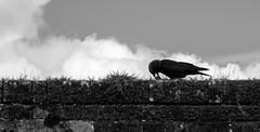 I have my treasure (Anxious Silence) Tags: animal birds blackandwhite brick contrast corvid marwellzoo minimal nature silhouette sky texture