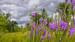 Pretty Stormy (tquist24) Tags: flowers trees sky storm tree nature clouds geotagged afternoon purple unitedstates bokeh outdoor meadow samsung indiana stormy wildflowers goshen samsunggalaxys6 goshenpondtrail