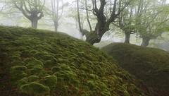 Bubbles in the fog (Rafael Dez) Tags: espaa paisvasco belaustegui hayedo niebla arboles fog filtro polarizador primavera rafaeldez naturaleza paisaje musgo verde