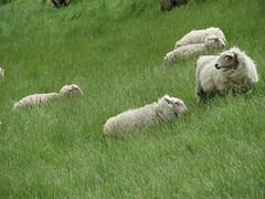 ckuchem-0223 (christine_kuchem) Tags: tiere weide meer gras kste schaf deich herde schafherde nutztier