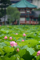 Lotus flower (tsu55) Tags: park flower temple lotusflower  nikond40