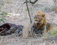 Chowing down (MarcCooper_1950) Tags: lion lioness africa wild wildlife bush safari bigfive predator bigcats biggame animals feline fauna goldenhour sabisands arathusa lodge marccooper panasonic lumix fz1000 leica iightrrom hdr