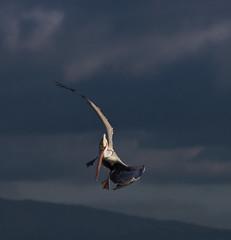 (153 of 468).jpg (jdldds) Tags: scoter goldeneye baylands brownpelican