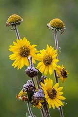 Sunflowers (billd_48) Tags: ohio summer flowers thewilds cumberland oh usa
