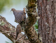 Quiet Conversation and a Stretch (Gabriel FW Koch (fb.me/FWKochPhotography on FB)) Tags: tree pinetree cones needles bird dove animals beauty pretty beautiful telephot telephoto sigma nature wild wildlife canon bokeh outdoor eos dof outside songbirds