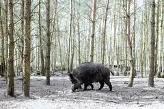 Schorfheide / Brandenburg (elisachris) Tags: brandenburg schorfheide wildschwein wildboar tier animal natur wald forest ricohgr