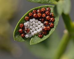 (myu-myu) Tags: nature insect halyomorphahalys mygarden nikon d800     japan