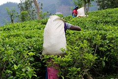 Dietro le quinte del Ceylon Tea (#Insolitamente00) Tags: srilanka tea travel woman work green ceylon nuwaraeliya train