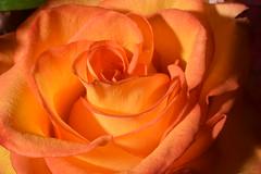 orange rose (abbigail may) Tags: orange memorial rose