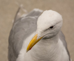 Glaucous-winged Gull (Larus glaucescens) (ekroc101) Tags: birds glaucouswingedgull larusglaucescens bc vancouver coalharbour
