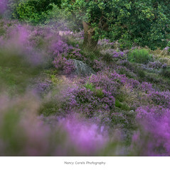 it's heather time! (Nancy Carels) Tags: tree heather summer posbank purple gelderland netherlands veluwe outdoor landscape nature natuurmonumenten