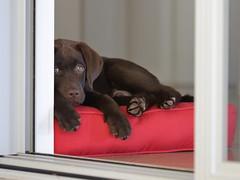 Watching (TonyinAus) Tags: dogs labradors pets