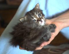 Kitty in Hand 2 (dblees) Tags: cat gato chat kitty  koka kat kissa katze gatto kot pisic maka katt  kedi con mo       gata
