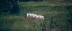 (Andre Taal) Tags: sheep animal nature norway grass green walk