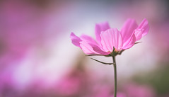 Cosmos (Dhina A) Tags: sony a7rii ilce7rm2 a7r2 samyang 135mm f20 f2 samyang135mmf20 bokeh cosmos bokehlicious