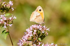 Schmetterling 149 (rgr_944) Tags: schmetterling butterfly papillon tiere insekten macro natur canoneos60dcanoneos70d rgr944 pflanzen blumen