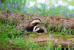 Badger and cub (Chas Moonie-Wild Photography) Tags: badger cub scotland wild chas moonie