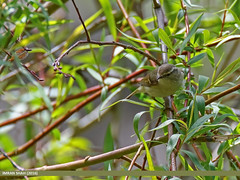 Greenish Warbler (Phylloscopus trochiloides) (gilgit2) Tags: avifauna birds canon canoneos7dmarkii category fauna feathers geotagged gilgit gilgitbaltistan greenishwarblerphylloscopustrochiloides imranshah location naltar pakistan species tags tamron tamronsp150600mmf563divcusd wildlife wings gilgit2 phylloscopustrochiloides