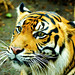 Female+Sumatran+Tiger%2C+Mannis+of+Ueno+Zoo+%2F+%E3%82%B9%E3%83%9E%E3%83%88%E3%83%A9%E3%83%88%E3%83%A9%E3%81%AE%E3%83%9E%E3%83%8B%E3%82%B9%E2%99%80%EF%BC%88%E4%B8%8A%E9%87%8E%E5%8B%95%E7%89%A9%E5%9C%92%EF%BC%89