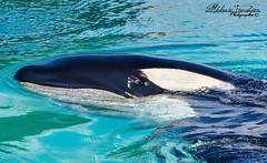 L'oeil d'une Orque (orcamel30) Tags: orca orque valentin orcinus dolphin dauphin cetace marineland biot antibes france nikon
