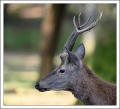 Boutissaint (guiguid45) Tags: nature animaux mammifres fort yonne d810 nikon 500mmf4 cerfelaphe cervuselaphus cervids cerf reddeer boutissaint