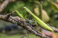 Mante 28 (Jeaunse23) Tags: mantis mantisreligiosa macro insect france ardeche