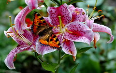 102_07316 (J Rutkiewicz) Tags: insect butterfly owady motyl