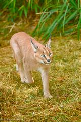 Caracal (corny101) Tags: caracal cat felline carnivore whf smarden