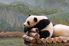 Jia Panpan (praja38) Tags: giantpanda nature life wild mammal paws bear thumb male cub baby twin jiapanpan caps cap capricorn humour wildlife torontozoo zoo ontario canada canadian