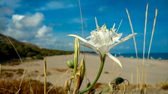 Radiant white (MPC.76) Tags: flor flower playa beach white blanca