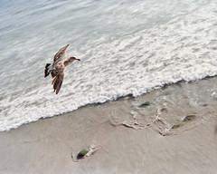 Film 3 (Ivan Contreras C.) Tags: film filme rollo fuji fujifilm iso 800 tijuana beach playa mexico animal bird seagull gaviota sea mar landscape paisaje