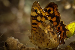 Wings of butterfly (armandogaspar) Tags: borboletas