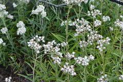 Mt Rainier Natl Park - Paradise (jrozwado) Tags: northamerica usa washington mtrainier nationalpark paradise flower wildlflower everlasting
