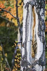 Injured Aspen (f/Kat) Tags: gtnp grandtetonnationalpark wyoming autumn fall aspen reflections