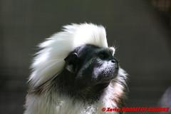 Canberra Zoo - Tamarin (soyouz) Tags: aus australiancapitalterritory australie curtin geo:lat=3529969062 geo:lon=14906970387 geotagged animals singes tamarin canberra australiel