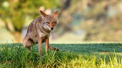 """Nature Calls""  -  Coyote (Bob Gunderson) Tags: california coyotes grandvistacanel lakemerced mammals northerncalifornia sanfrancisco wildlife"