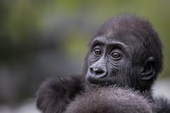 Flachlandgorilla (Matthes S.) Tags: gorilla primaten menschenaffen affen trockennasenaffen zoo duisburg jungtier tierkinder nachwuchs