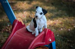 Storm! (Brii Dieter Photography) Tags: blackandwhite puppypictures puppyportrait portrait fall beautiful cute sweet adorable cutepuppy pitbull puppies dogs puppy dog