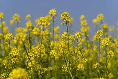 P9150018 2048 (Dirk Buse) Tags: olympus omd zuiko mnster nordrheinwestfalen deutschland deu 60 6028 nrw germany de eu mft em1 gelb farbe natur outdoor feld color colour nature yellow