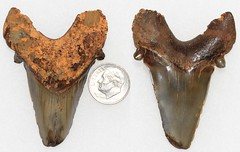 Otodus Obliquus (Fossiltoothpic) Tags: macro animal animals canon tooth fossil shark teeth paleontology prehistoric extinct fossils eocene sharkteeth sharktooth 60mmmacro otodus mackerelshark otodusobliquus canoneos7d fossilsharktooth fossiltooth fossilteeth