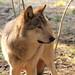 Vilkas     Canis lupus