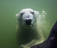 Dive Bear (Seahorse_Cologne) Tags: bear underwater dive polarbear gelsenkirchen eisbr tauchen unterwasser thegalaxy zoomerlebniswelt ventanaalasfotos 1001nightsmagiccity mygearandme ringexcellence 2heartsaward flickrstruereflection1 allofnatureswildlifelevel1 rememberthatmomentlevel1 me2youphotographylevel1