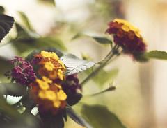 flowers around the corner (doctian) Tags: plants home nature photoshop canon vintage garden eos 50mm bokeh f14 philippines adobe filipino 5d pk dslr ef pinoy pcc fpc mki imag cebusugbo cs5 doctian garbongbisaya