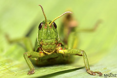 Green grasshopper (aziouezmazouz) Tags: macro cute nature insect amazing colours bokeh bellissima mfcc beautifulcapture macrolife thebestofcengizsqueezeme2groups flickraward5