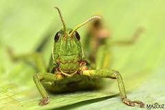 "Green grasshopper (aziouezmazouz) Tags: macro cute nature insect amazing colours bokeh bellissima mfcc beautifulcapture macrolife thebestofcengizsqueezeme2groups ""flickraward5"""